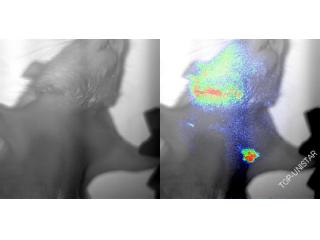 活体荧光成像